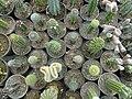 گلخانه کاکتوس دنیای خار در قم. کلکسیون انواع کاکتوس 02.jpg