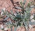 சிறுதேள்கொடுக்கு2 (Heliotropium curassavicum ).jpg