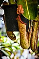หม้อข้าวหม้อแกงลิง tropical pitcher plants Genus Nepenthes Photographed by Trisorn Triboon 06.jpg