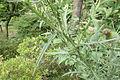 アメリカオニアザミ (Cirsium vulgare) (18917043010).jpg