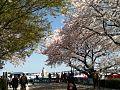 八幡桜まつり - panoramio (3).jpg