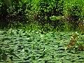 台湾萍蓬草 YeIlow Water Lily - panoramio.jpg