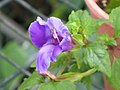 單色蝴蝶草(單色翼萼) Torenia concolor -香港嘉道理農場 Kadoorie Farm, Hong Kong- (9198133817).jpg