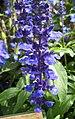 快樂鼠尾草 Salvia sclarea -香港花展 Hong Kong Flower Show- (32974350844).jpg
