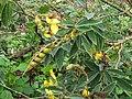 樹豆 Cajanus cajan (L.) Mills - panoramio.jpg