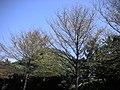 樹 - panoramio - Tianmu peter.jpg