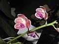 爪哇蝴蝶蘭 Phalaenopsis javanica -香港沙田洋蘭展 Shatin Orchid Show, Hong Kong- (9204833587).jpg