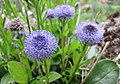 球花屬 Globularia dumulosa -比利時 Ghent University Botanical Garden, Belgium- (9200882306).jpg