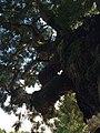 神明神社の大杉2.jpg