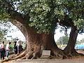 縣道139母女樟樹1.JPG