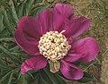 芍藥-玫紅金蕊 Paeonia lactiflora 'Rosy with Golden Stamens' -北京植物園 Beijing Botanical Garden, China- (12380583864).jpg