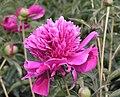 芍藥-紫絨昌盛 Paeonia lactiflora 'Prosperous Purple Fluff' -瀋陽植物園 Shenyang Botanical Garden, China- (12404198714).jpg