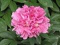 芍藥-繡球型 Paeonia lactiflora Ball-series -上海植物園 Shanghai Botanical Garden- (9190630555).jpg