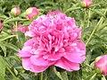 芍藥-錦山紅 Paeonia lactiflora -瀋陽植物園 Shenyang Botanical Garden, China- (12403733395).jpg