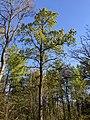 -2021-04-23 Oak tree, Bourne, Lincolnshire.jpg