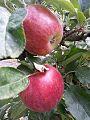 -365 apple crop 2015 (28631130676).jpg