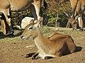 - ITALY - antilope alcina (Taurotragus oryx) - Parco Natura Viva - Verona.jpg