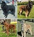 04 - Belgian shepherd dog varieties - Groenendael,Tervuren, Malinois, Laekenois.jpg