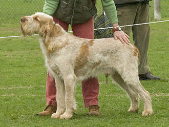 Spinone Italiano - Orange roan with orange markings.