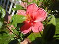 0931jfHibiscus rosa sinensis Linn White Pinkfvf 16.jpg