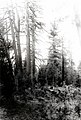 1923. A group of four ponderosa pine killed by western pine beetle in 1921. Trees treated in 1922 next to them. Southern Oregon Northern California (SONC) control project. Klamath Indian Reservation. (32764800754).jpg