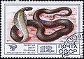 1977. Кобра среднеазиатская.jpg