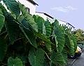2006-10-22Colocasia03.jpg