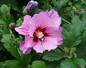 2007-07-09Hibiscus syriacus13.jpg