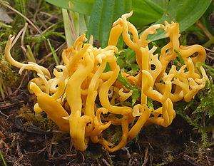 Geweihförmige Wiesenkoralle(Clavulinopsis corniculata)