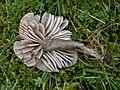 2007-10-06 Neohygrocybe fornicata 369505.jpg