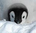 2007 Snow-Hill-Island Luyten-De-Hauwere-Emperor-Penguin-73.jpg