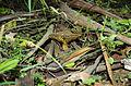2010-04-05 Phylloporus clelandii Watling & Gregory 82406.jpg
