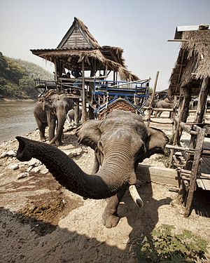 Elephant crushing - Elephants working in the tourist trade, Chiang Rai, Thailand.