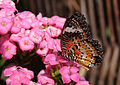 2011-04-25-lepidoptera-hunawihr-13.jpg