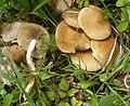 2012-06-08 Inocybe dulcamara (Alb. & Schwein.) P. Kumm 225812 crop.jpg