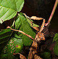 2012-09-12 16-05-05-Extatosoma tiaratum.jpg
