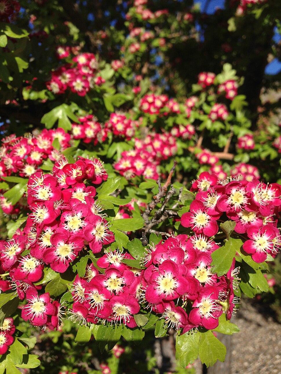 2013-05-23 07 24 06 Crataegus monogyna 'Crimson Cloud' blossoms in Elko Nevada