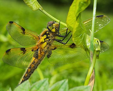 Four-spotted chaser - Libellula quadrimaculata, female.