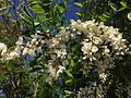 2014-05-17 10 00 29 Black Locust blossoms along Federal City Road at Interstate 95 in Lawrence Township, New Jersey.JPG