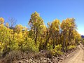 2014-10-04 13 22 09 View of Aspens during autumn leaf coloration along Charleston-Jarbidge Road (Elko County Route 748) in Copper Basin about 8.0 miles north of Charleston, Nevada.jpg