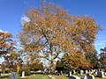 2014-11-02 12 00 54 American Sycamore during autumn at the Ewing Presbyterian Church Cemetery in Ewing, New Jersey.JPG
