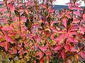 2014-12-20 13 09 29 Leaf coloration of Azalea cultivar 'Rosebud' during early winter along Terrace Boulevard in Ewing, New Jersey.JPG
