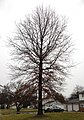 2014-12-24 15 09 14 Pin Oak on Llanfair Lane in Ewing, New Jersey.JPG