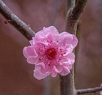 2015-08-23 Cherry blossom.jpg