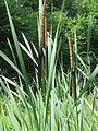 20150627Typha latifolia1.jpg