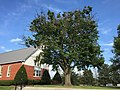 2016-08-25 17 29 51 A dying Norway Maple at a church along West Virginia State Route 45 (Arden Nolville Road) in Arden, Berkeley County, West Virginia.jpg