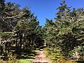 2017-05-16 10 12 06 View south along the Appalachian Trail through a grove of Fraser Fir trees on Pine Mountain, within the Mount Rogers National Recreation Area in Grayson County, Virginia.jpg