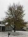 2018-11-15 08 35 03 A snow and sleet covered Red Maple along Ladybank Lane in the Chantilly Highlands section of Oak Hill, Fairfax County, Virginia.jpg