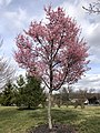 2020-03-16 14 38 11 Autumn Cherry blooming along Charles Ewing Boulevard in Ewing Township, Mercer County, New Jersey.jpg