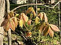 2020-04-20 17 20 29 Mockernut Hickory leaves developing in spring along a walking path in the Franklin Glen section of Chantilly, Fairfax County, Virginia.jpg